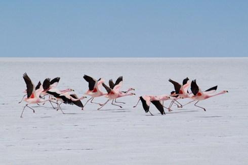 Fenicotteri spiccano il volo sul Salar de Uyuni, Bolivia